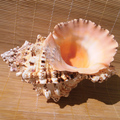 Extra grande concha conchas parafuso pedra presentes Criativos artesanato conchas do mar aquário paisagem da praia casamento decoraton