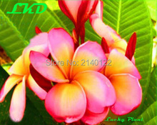 7 to15inch Rooted Plumeria Plant Thailand Rare Real Frangipani Plants no172-multimillionare-1