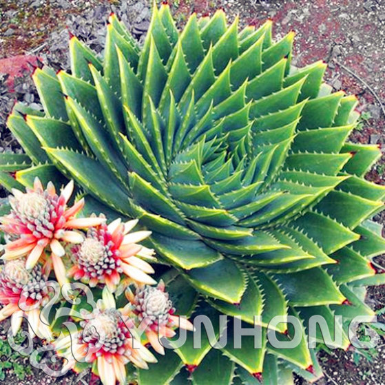 Rare Spiral New Bonsai Succulents Bonsai MESA Aloe Polyphylla Rotation Aloe Vera Queen Bonsai 100pcs/bag