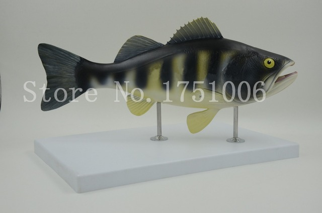 Free Shipping 1:1 fish model. Fish anatomy. Biology teaching. Perch ...