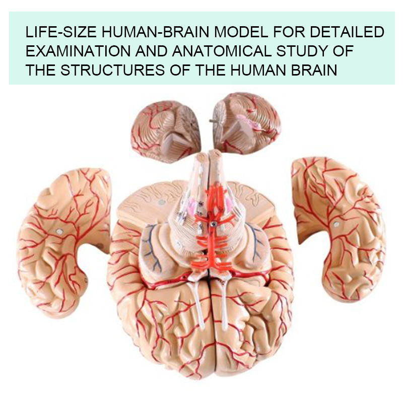 Plastic medical anatomical teaching model Anatomical human Brain ...