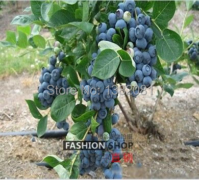 ... 100 / Pack, Fresh Blueberries Blueberry Bonsai Heirloom Seeds, Edible  Fruits Indoor And Outdoor