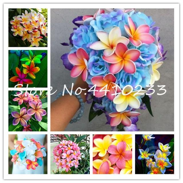 Bonsai 50 unids/bolsa Plumeria Bonsai... Frangipani Hawaiano Lei flor rara Flor de huevo exótico colores perfectos jardín casero Diy