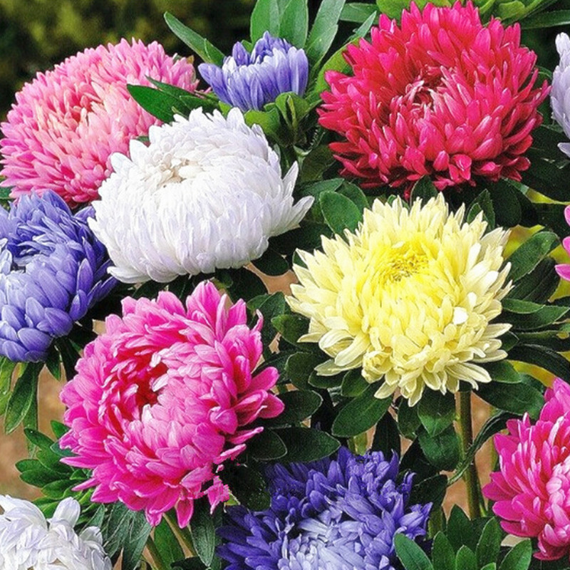 chinese aster seeds callistephusgive you a garden full of bright summer big flowers
