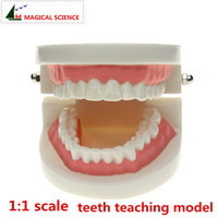 Science Supply Solutions Tooth Care Child Kid Dental Teaching Study Model Adult Standard Typodont Demonstration Free