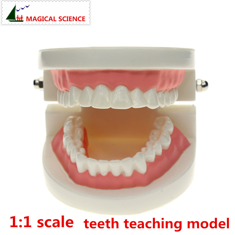 MAGICAL SCIENCE teeth Tooth teaching model 1:1 scale Adult oral Standard Typodont Demonstration with 28pcs teeth fixed immovable