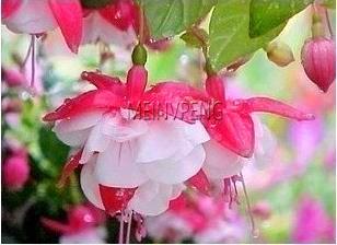¡Gran promoción! paquete mixto 50 piezas árbol de bonsái fucsia planta de flores planta de jardín hogar flores perennes macetas E