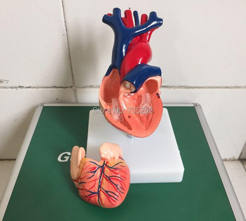 1:1 Model Heart Anatomy,Natural Big Heart Anatomy Teaching Model ...