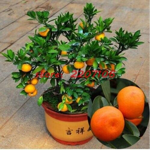 50 Pcs / Bag, Balcony Potted Fruit Trees Planted Kumquat Orange Seeds, Citrus * bonsai home Organic plant seeds easy grow