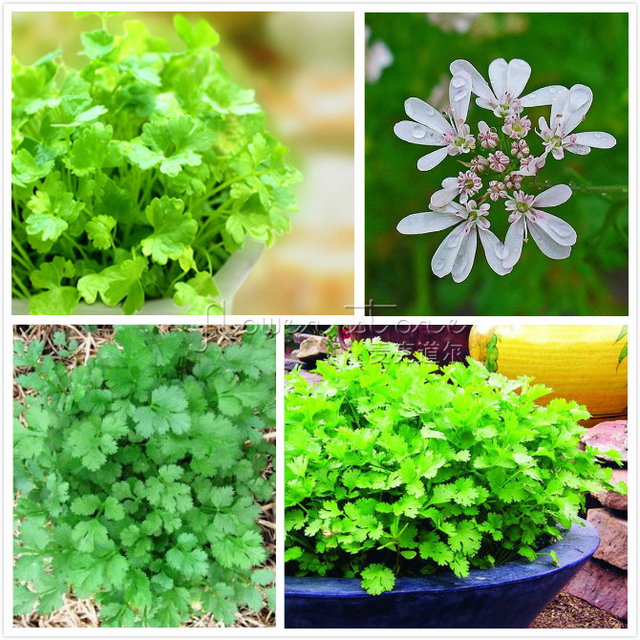 400 Pcs Cilantro Herb Seeds Green Healthiy Herb High Yield Fruitful Vegetable  Garden Bonsai Plant