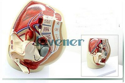 Female Pelvis Anatomical Reproductive Organ Anatomy Medical Model hanita короткий комбинезон