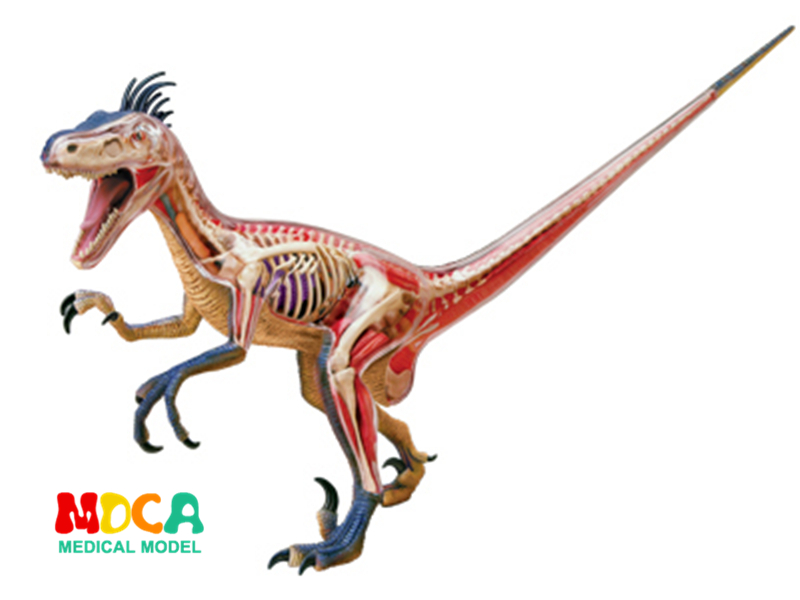 Big Velociraptor 4d master puzzle Assembling toy Animal Biology Dinosaur organ anatomical model medical teaching model robin hood 4d xxray master mighty jaxx jason freeny anatomy cartoon ornament