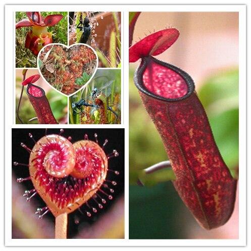 100pcs Perennial Carnivorous Seeds World Hottest Plant Seeds Garden Bonsai Seeds mix colors Free Shipping