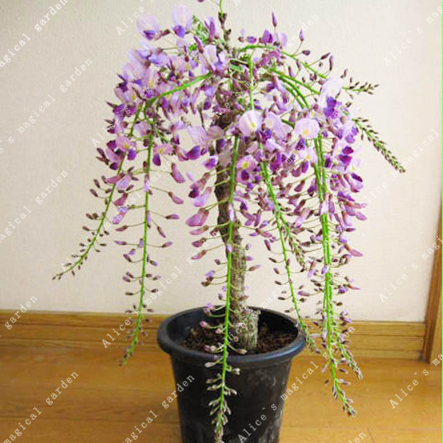 ZLKING 10pcs Wisteria Flower Bonsai Plants For Home Garden Super Natural Products Herbaceous Perennial Plants 5