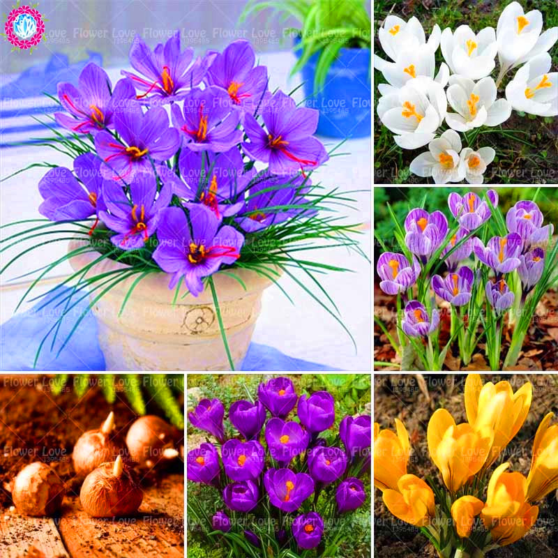 2 Bulbs White Saffron Bulbs Rare Crocus Sativus Flower Bonsai Flower Bulbs Perennial Potted Plant For Home Garden ( Not Seed)