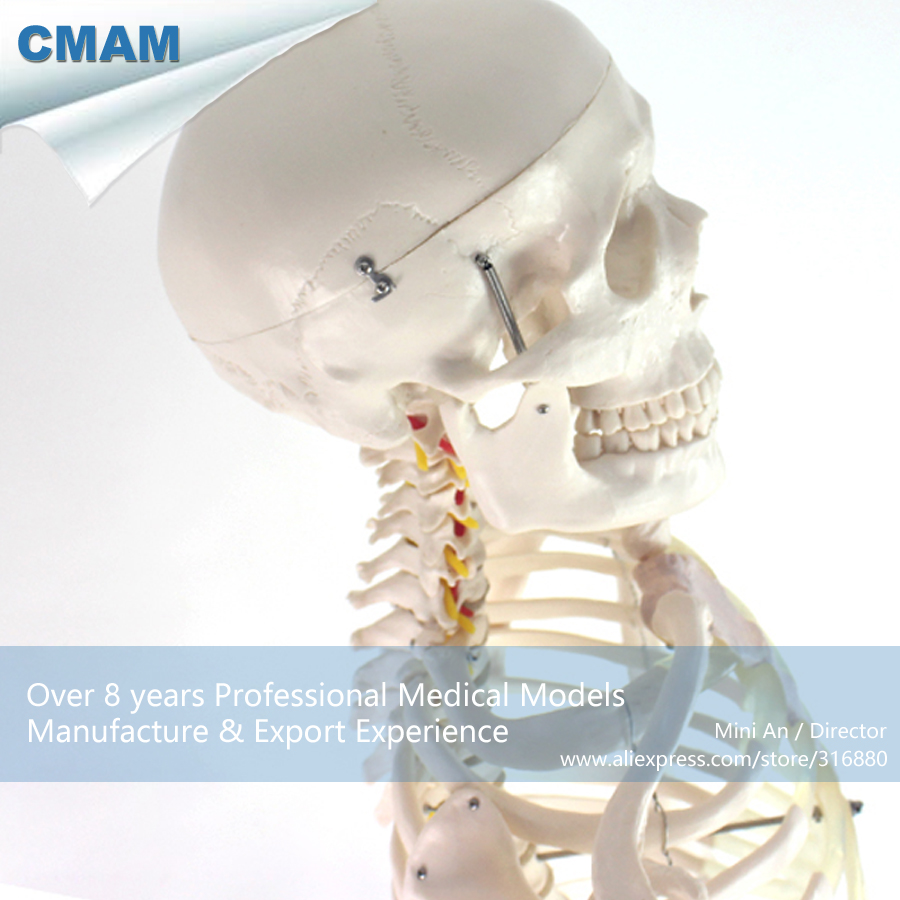 CMAM-SKELETON01 Life Size Human Skeleton Model Medical Stand Joint , Medical Science Educational Teaching Anatomical Models iso high quality human skeleton model life size medical 180cm human skeleton