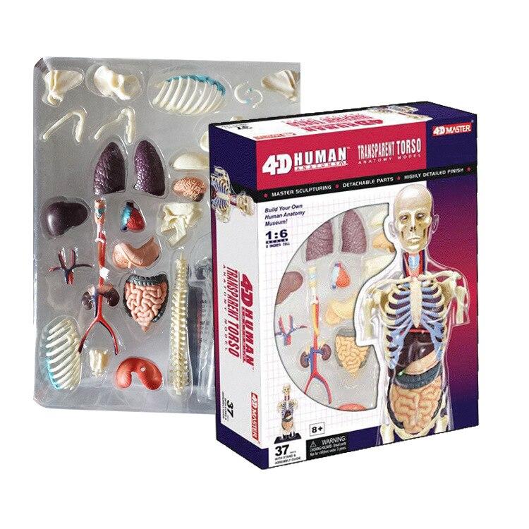 Pädagogisches Zusammengebautes 4d Menschlichen Körper transparent ...