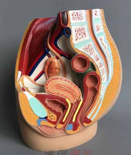 Female Pelvic Model Female Genitourinary Specimens Ventral Sagittal Incision Of Human Anatomy