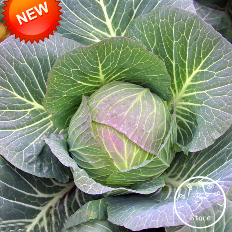 New Fresh Rare Giant Russian Cabbage Vegetable Vitamin Bonsai 100 Pieces / Package,#P6UO8R