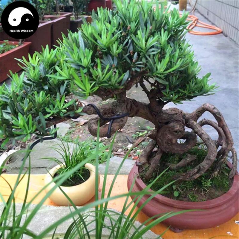 Buy Podocarpus Macrophyllus Tree Semente 40pcs Plant Que She Luo Han Song