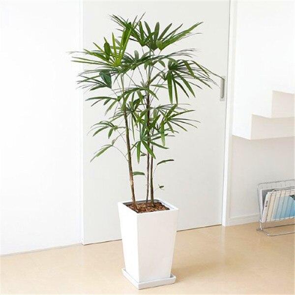 Acquista all 39 ingrosso online bamb semi di piante da for Semi di bambu