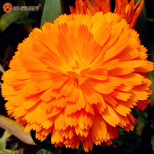 New Arrival Yellow Zinnia Seeds Perennial Flowering Plants Potted Charming Chinese Flowers Seeds 100 Particles /lot