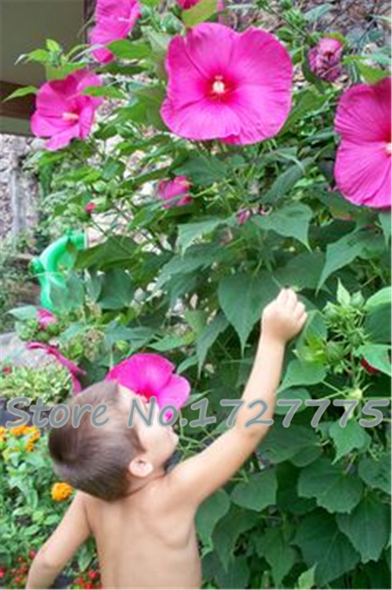100 Giant Hibiscus Flower plants Hardy and Mix Color DIY plant Home ...