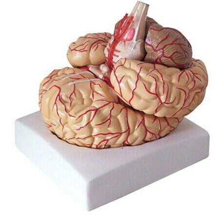 Le corps humain grand cerveau anatomie modèle livraison gratuite cerveau modèle artères