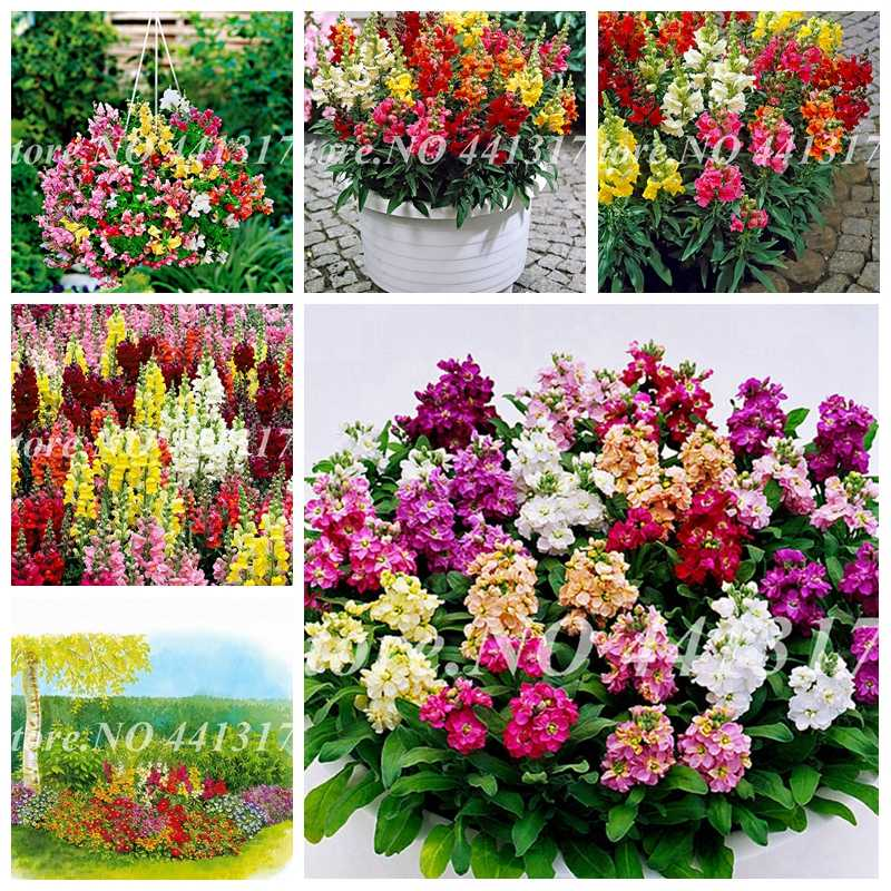 200 Pcs Colorful Snapdragon Bonsai Flower Heirloom Plant Outdoor & Indoor Charming Antirrhinum Majus Potted Garden Flore Planta