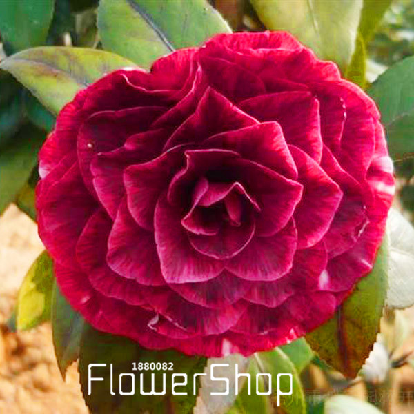 30 Pcs Japanese Camellia Seeds Mix Color Camellia Flowers Seeds Home Decor