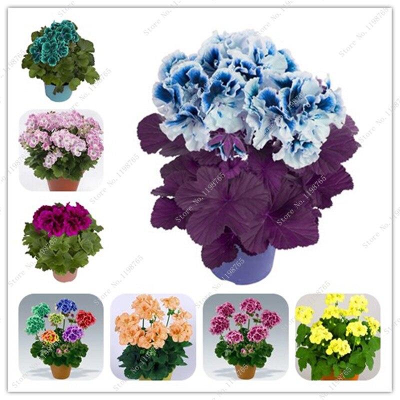 Multicolor Bonsai 50 Pcs Geranium Rare Bonsai Flower Perennial Plant Pelargonium Peltatum Indoor Room For Home & Garden