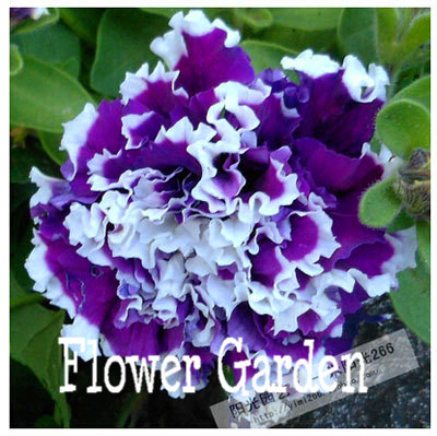 24 kinds hanging petunia seeds,garden Petunia, Petunia Seeds, Mixed color - 100 seeds/lot,#OIMVY8