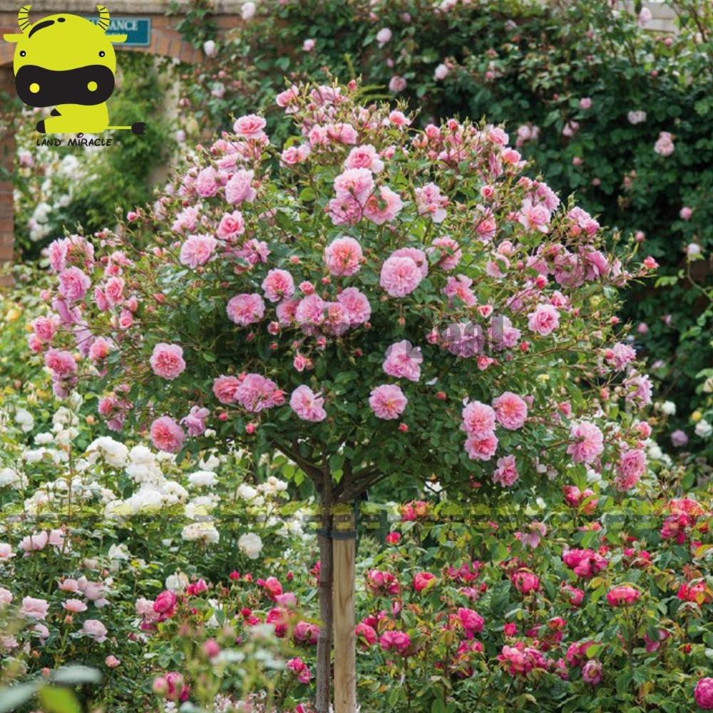 Alberi da giardino con fiori rosa fraxinus ornus e for Rose da giardino