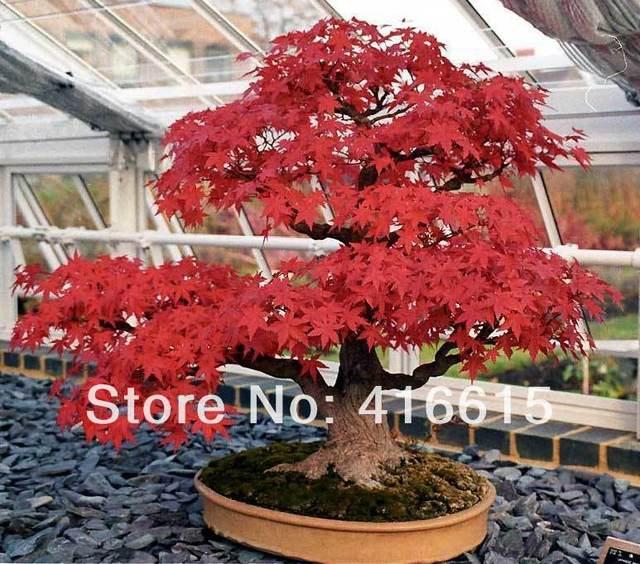 American Blood Flame Amur Acer Ginnala Maple Seeds 20pcs