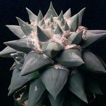 20 Семян/BagAriocarpus Retusus v. Furfuraceus Семян Ariocarpus Семян Мини-Бонсай Радиационной Защиты Растений