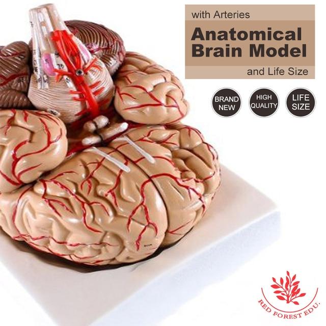 Plástico modelo de enseñanza médica anatómica modelo Anatómico Del ...