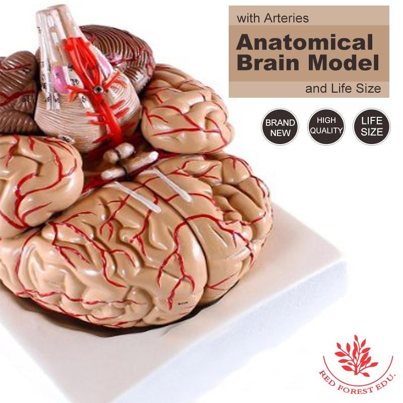 Plastic medical anatomical teaching model Anatomical human Brain model with cerebral arteries distributing brain human structure model biology teaching medical equipment assembling toys 32parts medical model