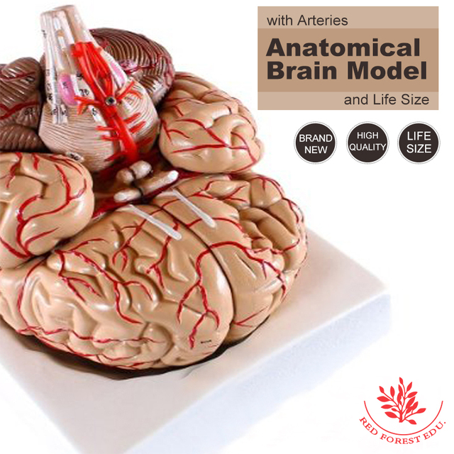 Plastic Medical Anatomical Teaching Model Anatomical Human Brain