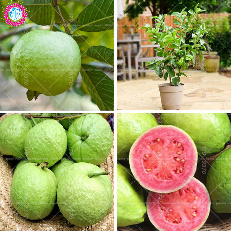 US $0 38 55% OFF|30pcs bonsai Guava Psidium guajava Bonsai fruit tree  Perennial tropics potted plants for home mini garden plants planting-in  Bonsai