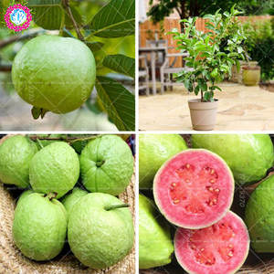 Bonsai Potted-Plants Planting Guava Fruit-Tree Tropics Perennial Psidium Mini Home 30pcs