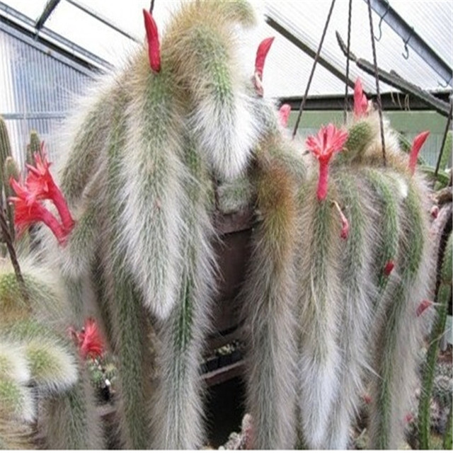 Sementes Cactus Seeds (100 Pieces)