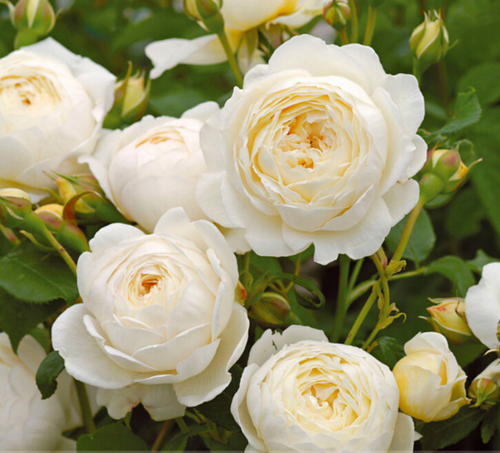 mported Claire Austin Rare White Shrub Rose Flower Seeds, Professional Pack, 50 Seeds / Pack, Large Fragrant Elegant Flowers