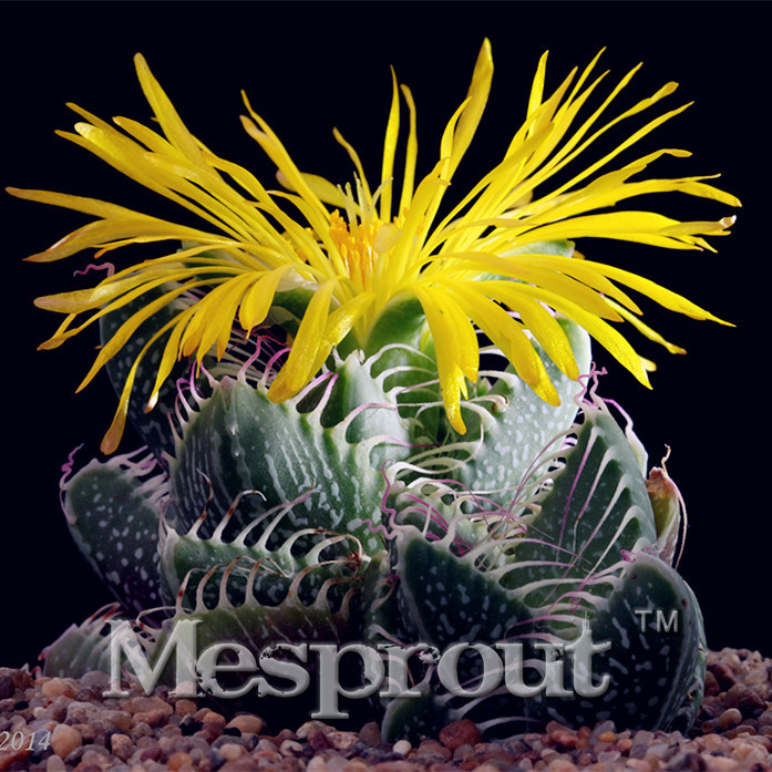 New Arrival!Cactus Four Hyperion Seed Flowering Color Cacti Rare Cactus Seed Office mini plant succulent 100PCS