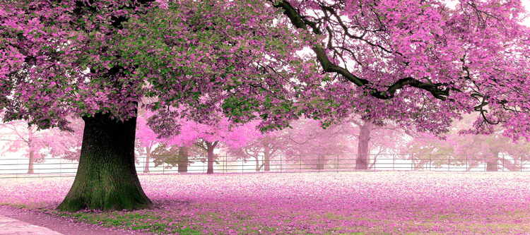 A large mural TV background wall waterproof wallpaper bedroom romantic cherry blossoms tree park scenery