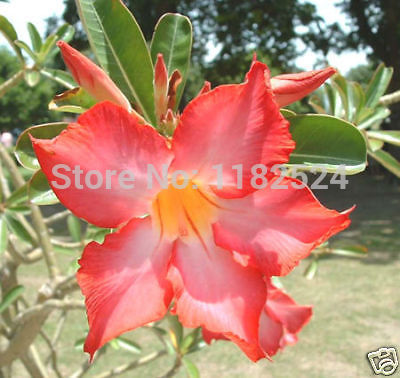 20 SEEDS - Fresh Rare  Orange_V  Adenium Obesum Seeds - Bonsai Desert Rose Flower Plant Seeds * Free shipping