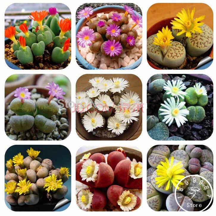 200 ชิ้น Lithops Pseudotruncatella Living Stone หายาก Succulent bonsai สวนบ้านสวน flores, # HTFUHE