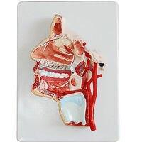 Human Median Section Of Head Oral Pharynx Anatomical Model Medical Skeleton