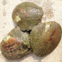 Lớn Hoang Dã Nước Ngọt Oyster Quái Vật 10 năm 20-30 cái Màu Sắc Ngẫu Nhiên/Trai Ngọc Trai Hình Dạng Mussel Cung Cấp Trang Trại Chân Không đóng gói 5 CÁI ZB002