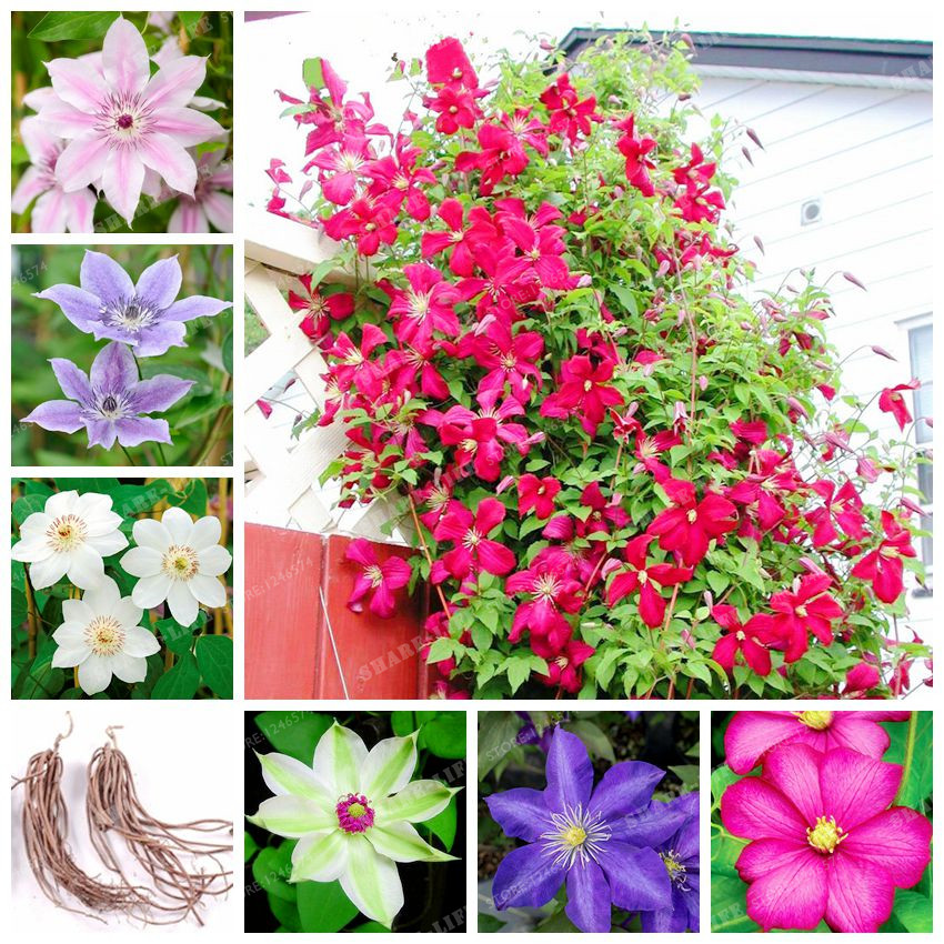 Beautiful Clematis Bulbs Rare Climbing Flower Bulbs Clematis Vines For DIY Home Garden Plant Tree Easy Grow 2 Buls