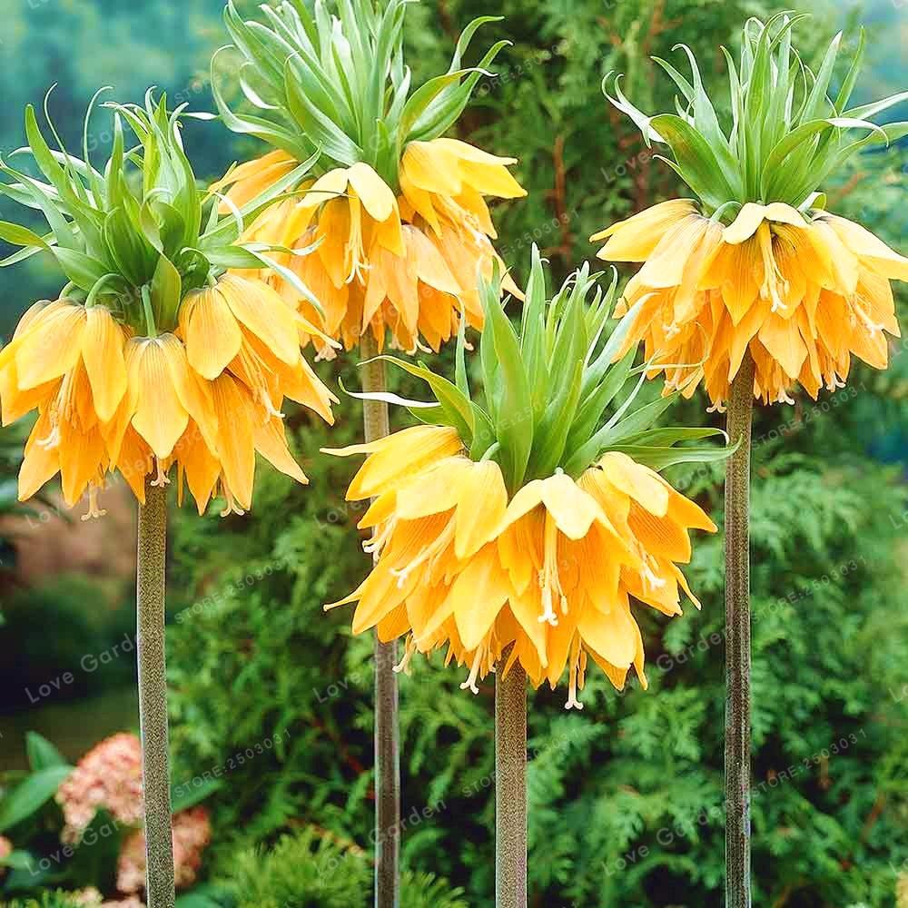 Crown Imperial Bonsai Wang Fritillaria Bonsai Home Rare Plant Bonsai Garden Ground Cover Plant Easy To Grow 30 PCS